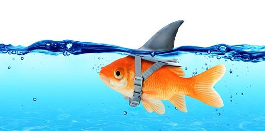 Gold Fish_shark Fin